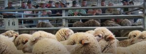 Price competitiveness and transparency is vital to WA sheep industry | Sheep Central