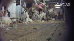PETA shearing pic