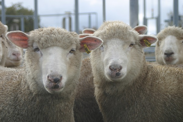 Lower sheep EID tag cost not the answer says NSW Farmers