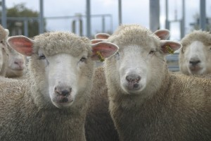 Sheep eID will be discussed at the Sheep CRC field day.