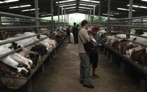 Excellent facilities at the Kambing Burja farm near Surabaya, East Java