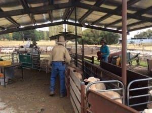 Sheep are put through an auto drafter at Kirby Farm, Armidale.