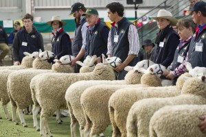 Sheep show judging at Bendigo.