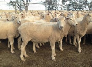 The first cross ewes sold for $456 with their lambs at Wycheproof last week.