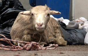 Tied sheep during Eid. Animals Australia 2016