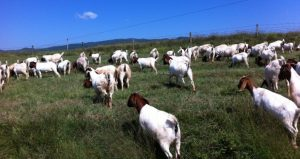 Solid goat meat prices and demand will mean more market