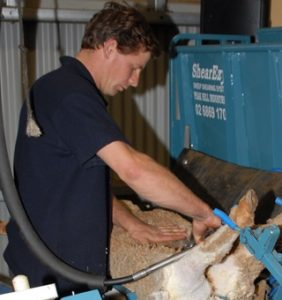 A sheep being shorn in an early upright shearing platform.