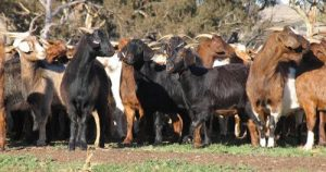 Goat meat prices hold steady as slaughter numbers and