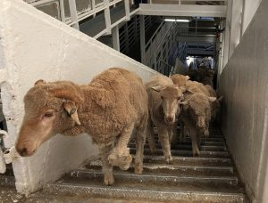 Middle East importers act as Australian live sheep exports