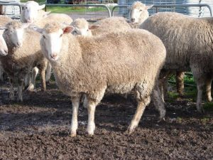 AuctionsPlus listings increase with WA lamb sale - Sheep Central