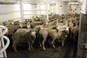 Live sheep and cattle export licence approved for Kuwait-owned