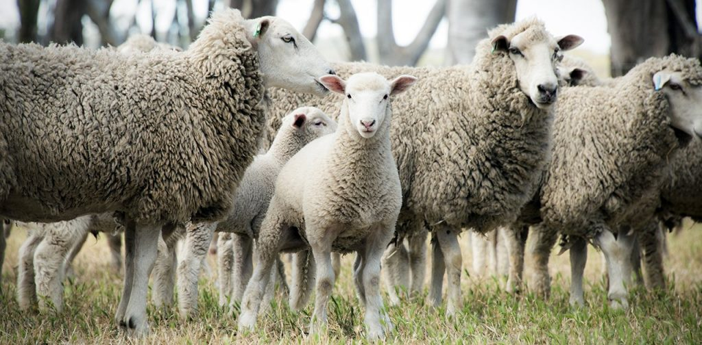 Sheep Industry And Rdcs Fail To Meet Reproduction Rate Target Sheep Central